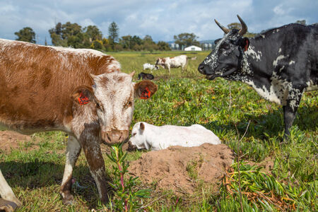 A young calf lying on in the grass field with an older one pulling a succulent plant from the grownd as it looks on  Their black and white mother cow standing in the background  photo