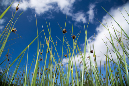 Peaceful long green reeds with blue skies and white clouds in the background  Can also be used as a background image