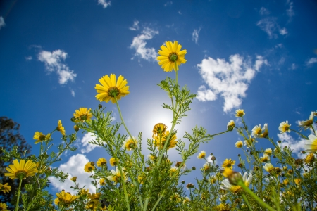 A background image of yellow and white wildflowers with the sun, white clouds and blue skies. Stock Photo