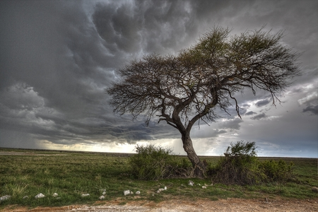 windblown: A lone tree with an approaching thunder storm and rain