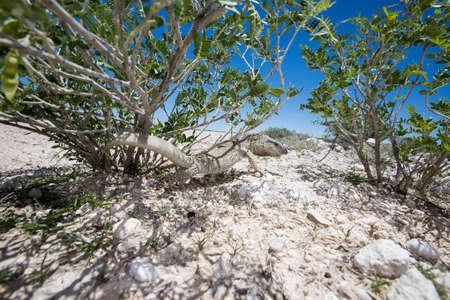 aggressively: Una lucertola throated bianco guardando indietro e frustando la coda in modo aggressivo da sotto un cespuglio nel deserto