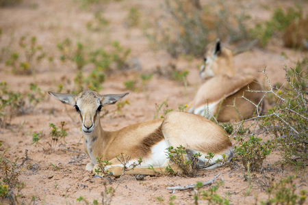 Two young baby Springbuck lying in the desert field.