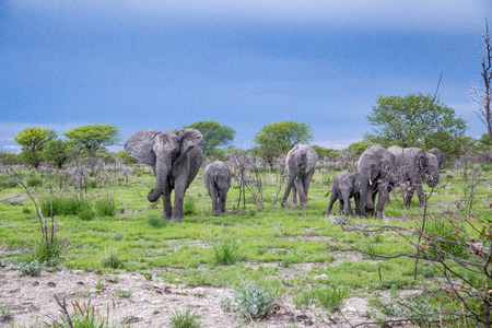 A herd of elephant walking in the wilderness under cloudy rainy skies  The matriach on the left, flapping her ears to show her dominance