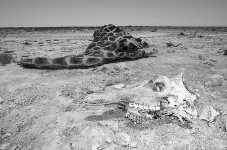 In monochrome, the skull of a giraffe and the carcass lying to the one side  The dry desert landscape is evident of how hard life can be for these animals