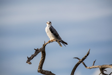 A black-winged kite with ruby red eyes sitting on a dry tree branch  Soft white clouds and blue sky