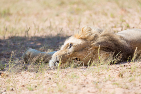 A male lion lying in the desert, looking back lazily