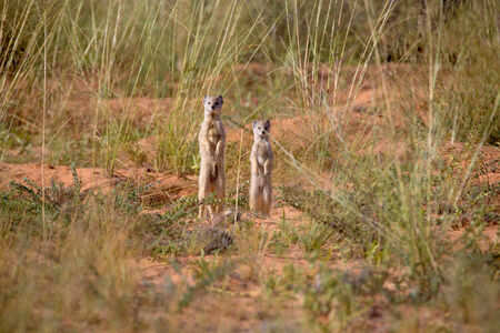 Two mongooses standing upright in the desert savannah, throwing a watchful eye on the surroundings