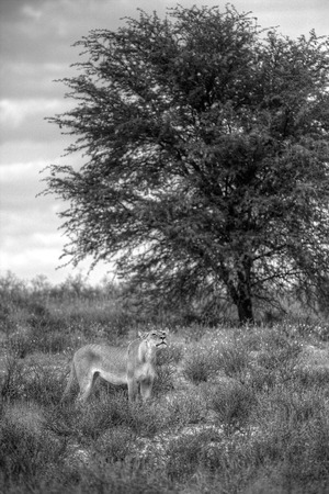 A lioness standing by a tree in the bushveld  She is looking up, smelling for any interesting smells in the air  Stock Photo