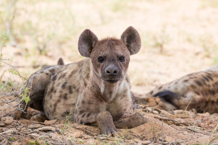A spotted hyena lying in the desert sand looking forward with it Stock Photo