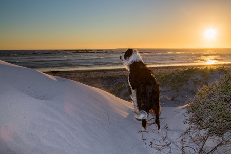 A black and white border collie standing on a white sand dune by the beach, looking towards the ocean for anything interesting  The sun is setting in the background