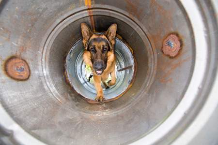 A police dog, german shepard, crawling through a pipe as it is busy doing obedience training on an obstacle course