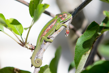 A green chameleon climbing up the branch of a tree, camouflaged with the leave to blend in
