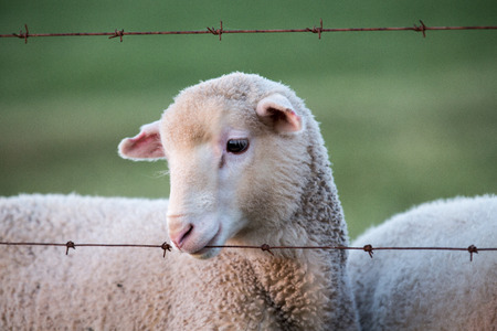 A young and cute sheep lamb playfully bites the barbed wire fence