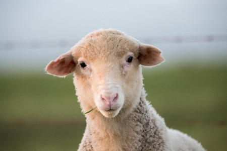 A young white sheep lamb chewing on some grass