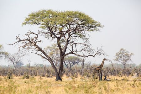 enormous: A landscape of a giraffe standing in the shade of a enormous tree in Africa.