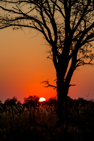 The red African sun setting behind the sihouette of a large tree in Third Bridge, Botswana.