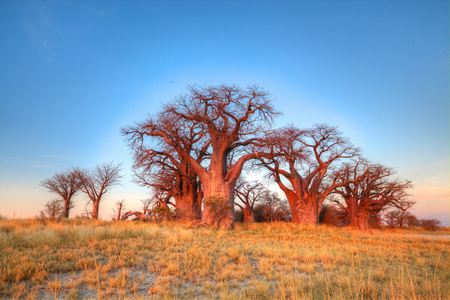 discovered: Bains Baobabs with the sun setting in the backgound making a red hue on the trees. These trees were discovered by Thomas Bains in 1862 on a trip to the Victoria Falls. Stock Photo