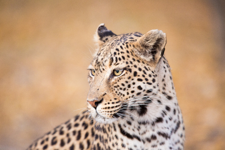A close-up image of the head of a Leopard looking to the side.