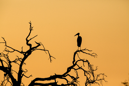 Marabou stork sitting on a camelthorn tree, looking in the direction of the sun setting and casting an even orange tone.