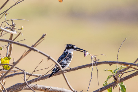 A Pied Kingfisher sits on a branch with a fish that it just caught in the Linyanti river in Botswana. Stock Photo