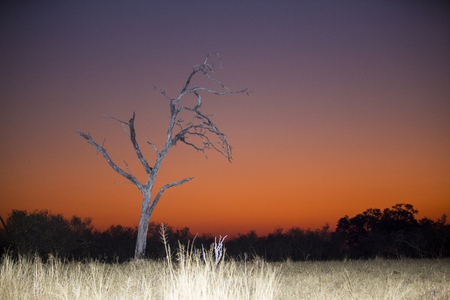 Orange and purle dawn in Botswana, Africa just before the sun rises. A dry tree and savannah grass shows that life here can get hard.
