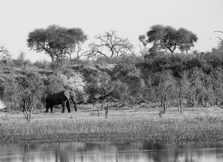 A large African elephant walking on the banks of the Boteti river in Xhumaga, Botswana. Many of the trees dry, evident of hard times in the past. In black and white.