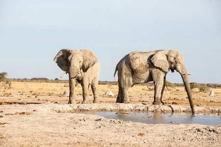 Large elephants at Nxai pan National park in Botswana. The one is busy drinking while the other one is walking around the dam. Stock Photo