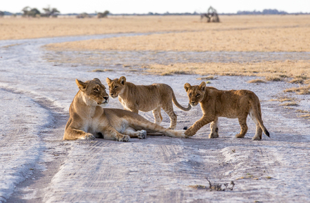 A lioness lying in the gravel road with her two cubs playing around her. Stock Photo