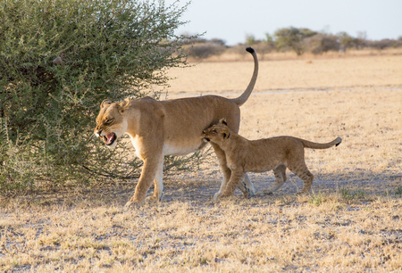 Cub in a playful mode giving its mom, the lioness a small bite on the side, she shows her teeth as a warning for him to stop and not do it again. Stock Photo