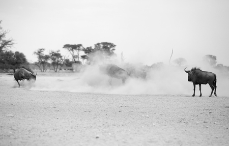 Just dust and sand as a number of Blue Wildebeest fighting it out in the Kalagadi Transfrontier park. Image in black and white. Stock Photo