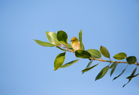 A tiny olive toned bird called the Cape white-eye, sitting on a branch with many leaves. Blue sky background.
