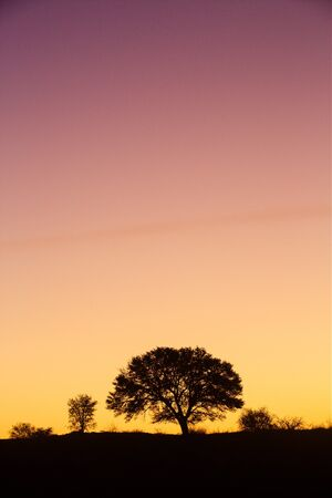 The silhouette of a tree in the kalahari desert with a yellow to purple sunset.