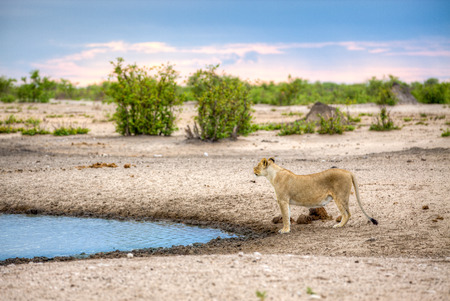 A landscape of lioness standing next to a water source, like a dam or river, while looking up, almost like she got a scent in the air.