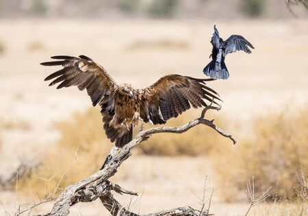 A large Tawny Eagle chasing away a crown as it lands on a dry tree. The crow almost jumping out of its way.