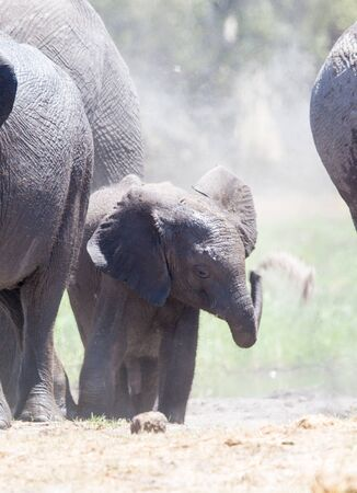 A baby elephant standing by the older ones, copying them and throwing sand on itself after a swim in the river. Stockfoto
