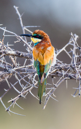 A colourful Bee eater sitting on a dry thorn bush, looking to the side.