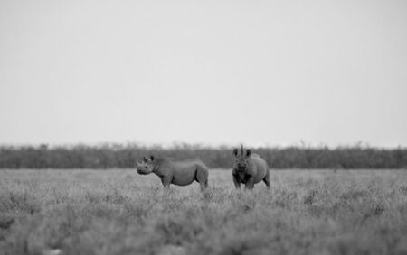 A monochrome landscape of a Black rhino and her calf. The mother looking this way while the calf looks away. Stock Photo