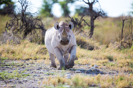 A Black Rhino walking up, ears up right and horn as a warning sign in the air.