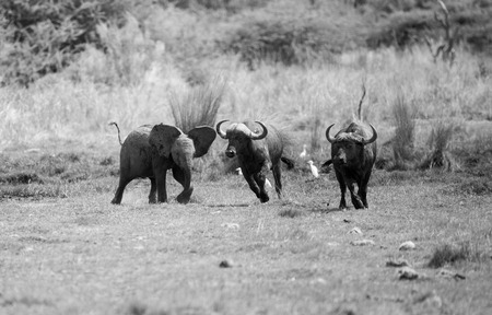 A young baby Elephant getting upset with a herd of buffalo, chasing them away. In monochrome. Stock Photo