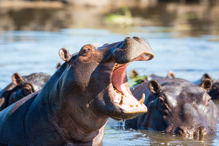 A Hippo standing in the water with its mouth open and showing its teeth.