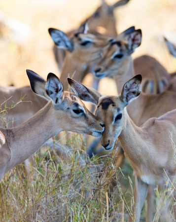 A couple of young impala licking and grooming each other. Stock Photo
