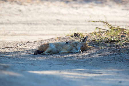 A Black-backed Jackal lying on its side, sleeping in the shade of a tree.
