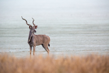 A larger kudu bull standing on the edge of the Etosha pan, looking back. Stock Photo