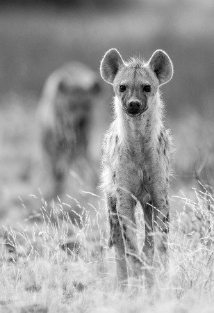 A monochrome portrait of a Spotted Hyena standing in the foreground with another clan member out of focus in the background.