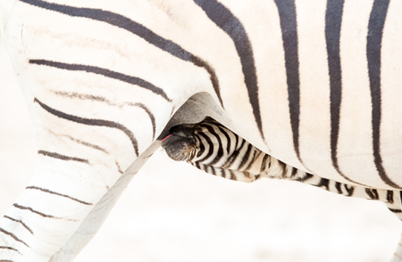A close up of a baby Zebra drinking milk from under its mother.