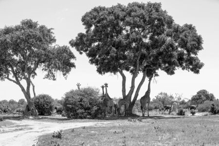 The African wilderness with large Giraffes and Elephants with big trees. In black and white, monochrome.