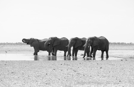 A small herd of 4 Elephants drinking from a watering hole in Etosha National Park. In black and white, monochrome. Stock Photo