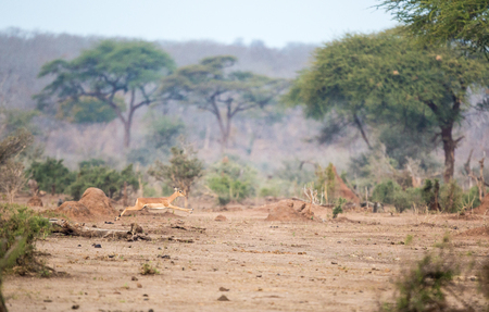 A female impala stretches her legs with a long jump in the African wilderness with camelthorn trees in the background.