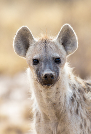 Portrait, head shot, of a Spotted Hyena looking at you.