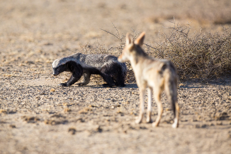 might: A Honey Badger looking back at a Black-backed Jackal that is following him. The jackal might be a threat as it could steal the badgers food. Stock Photo